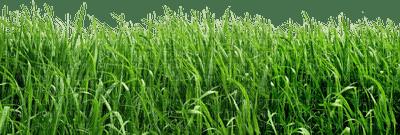 grass gras