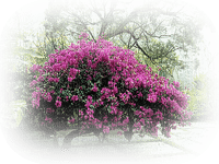 paysage fleur bougainvillier mauve