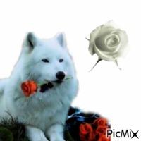 loup et rose....