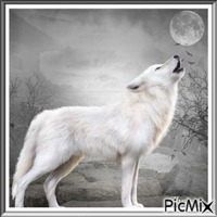 Le loup blanc appelle sa famille