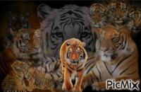 montage 5/15 tigres