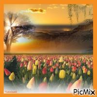Champs de tulipes au coucher de soleil.