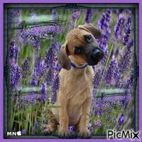 un chien dans un champs de lavande ,,