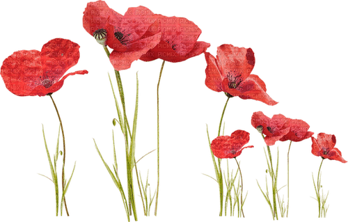 Coquelicots.Poppies.Fleurs.Red.Victoriabea