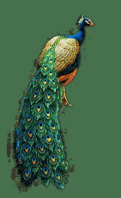 Kaz_Creations Peacock