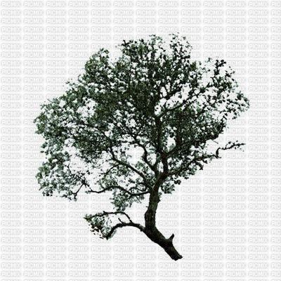 arbre ...pin bleu