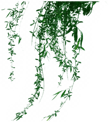 Plants.plante.plant.willow.branche.branch.rama.hanging.pendant.Victoriabea