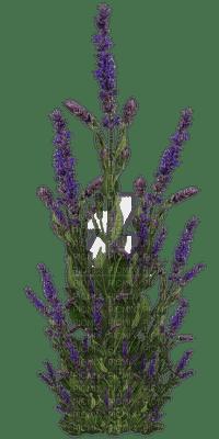 Plants.Plante.Lavande.Lavender.Victoriabea