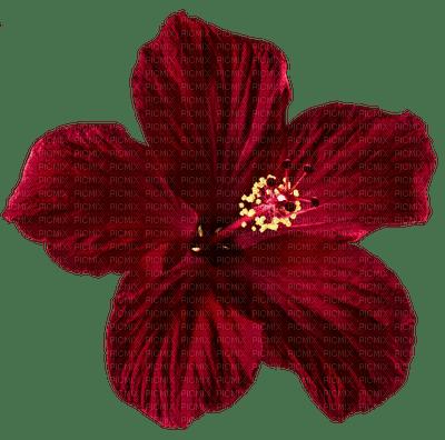 czerwony hibiskus