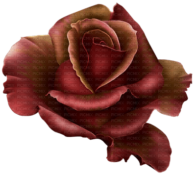 Rosa ambra