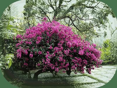 paysage fleur bougainvillier mauve