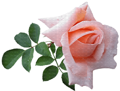 kukka, ruusu, rose, fleur, flower