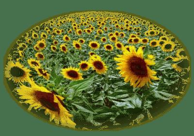 sunflower field champ de tournesol paysage