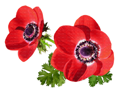Fleurs.Flowers.Poppies.Coquelicots.Red.Victoriabea