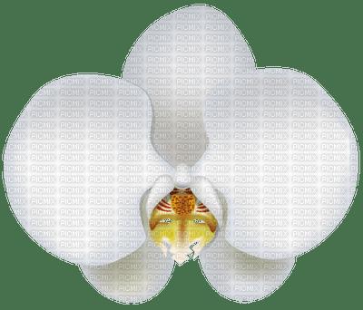 ORCHID.BLANCA,ADOLGIAN