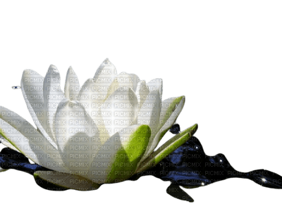 water lily seerose flower fleur pond lake lac etang   summer ete  sommer tube nénuphar