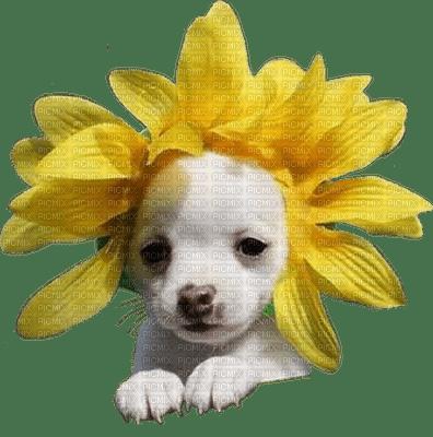 dog sunflowers chien tournesol