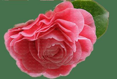 flower-rose-pink