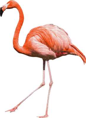 flamingo 🦩🦩 FLAMANT ROSE