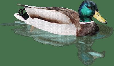 duck ente canard tube pond teich etang   animal summer ete bird oiseau spring printemps