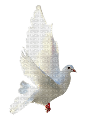 minou-bird-dove-white-duva