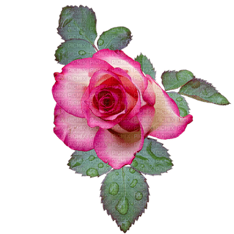 Flowers pink rose bp