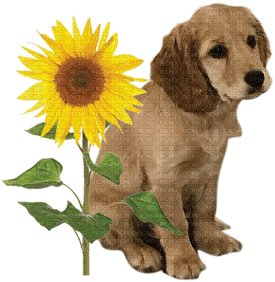 dog sunflower chien tournesol