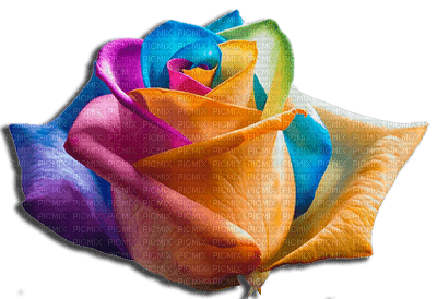 rose multicolor. Danna1