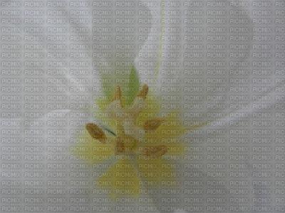 Tulipe du Printemps