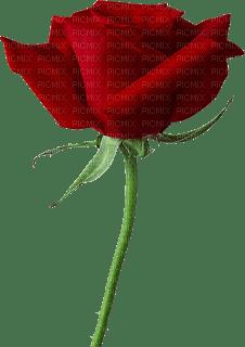 """""""rosa roja"""" flor Marta"""