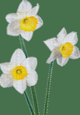 chantalmi fleur narcisse jonquille blanche