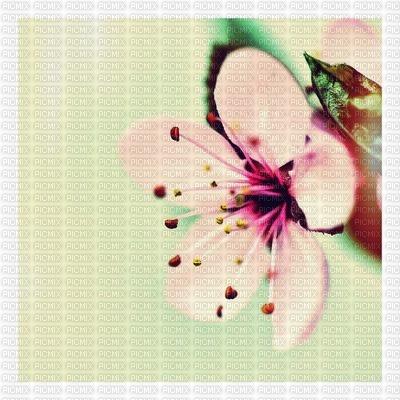 ciliegio giapponese japan fond laurachan