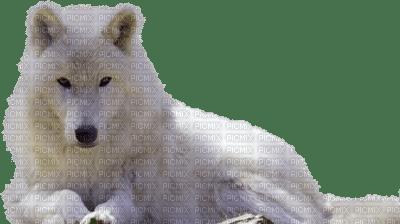 loup blanc couché