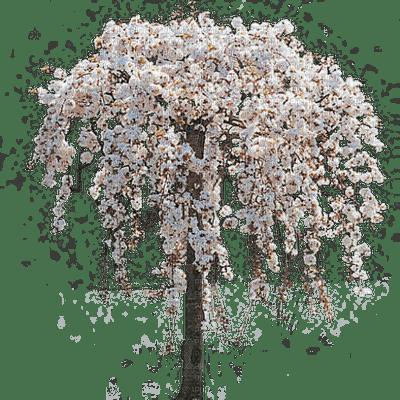 fleurs fleur arbre  printemps-été gif plantes_flowers flower tree  spring Summer gif plants_tube