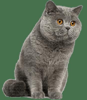 british shorthair CATS  chat😻😸