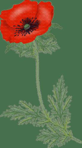 poppy flowers bp