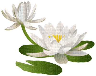 water lily lily pad