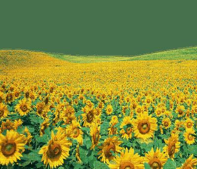 sunflower field champ de tournesol
