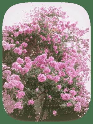 paysage fleur bougainvillier rose