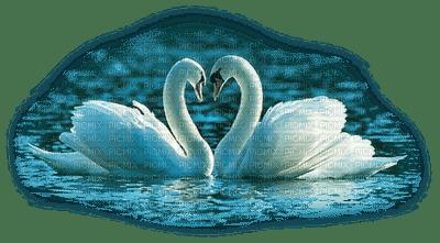 swans cygne