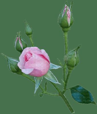 kukka, rose, ruusu, flower, fleur