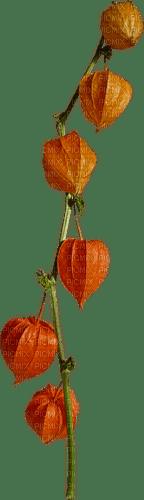Physalis fruit vegetable orange deco, sunshine3
