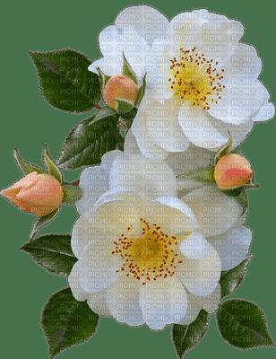 ruusu, ruusut, roses, rose, fleur, kukka, flower