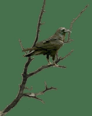 corbeau-branche-raven-tree-nigh-halloween