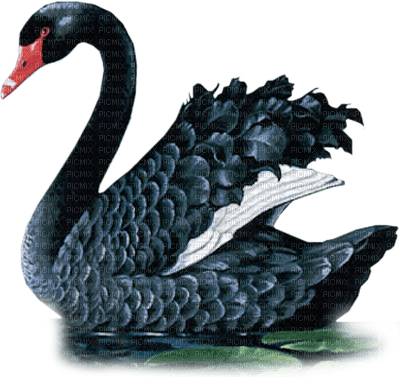 black swan cygne noir
