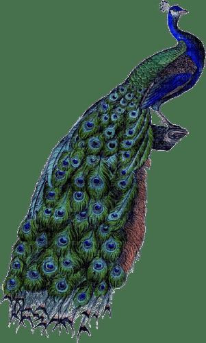 Kaz_Creations Peacock Bird