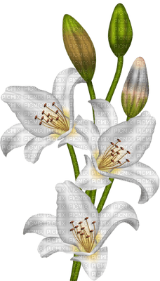 fleur-flower_fleurs-tube-lis-lily-decoration-white-blanc-image_Blue DREAM 70