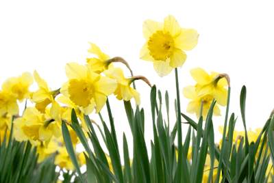 daffodil spring flowers border  printemps fleurs