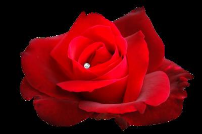 rose rouge avec diamant