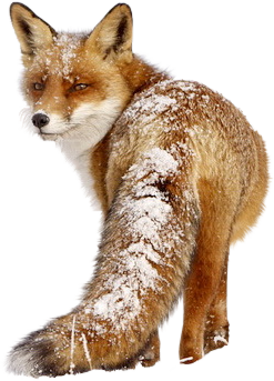 fox winter renard hiver